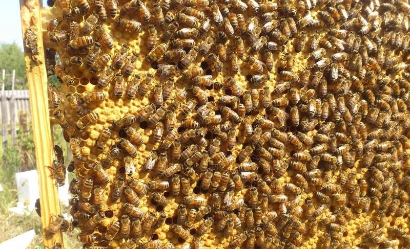 Таких тружениц, как пчелы бакфаст, любят многие пчеловоды