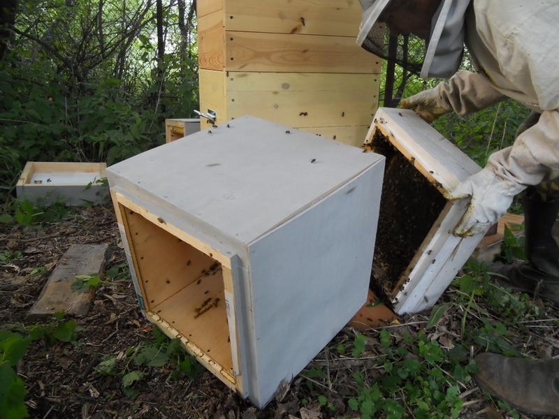 Ничего сложного в пересадке пчел нет, главное не боятся и действовать по инструкции