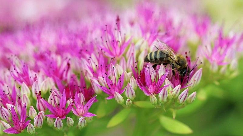 Обеспечьте пчел обилием медоносов