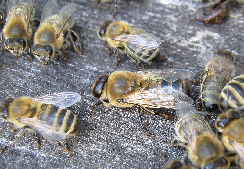 Трутневые пчелы