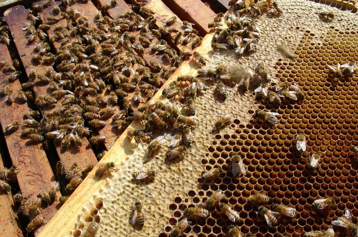 Пчелиный рой - это одна семья, в которой распределены все обязанности