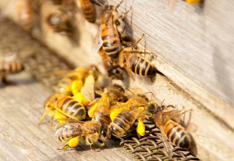 Рабочие пчелы вернулись в улей с нектаром