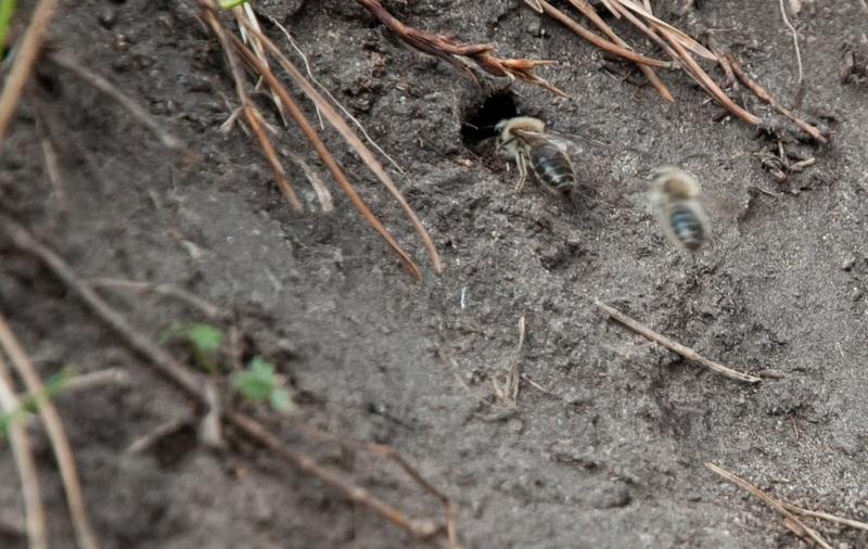 Земляные пчелы - хорошие соседи, не спешите их уничтожать