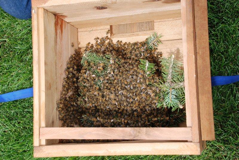 Пойманный небольшой рой пчел