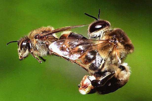 Оплодотворение пчелиной матки
