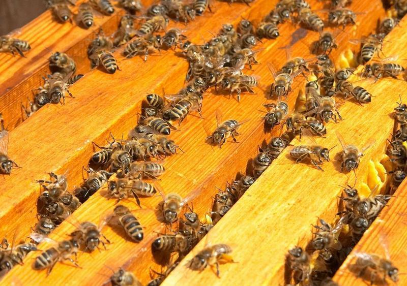 Количество пчел в улье во многом зависит от самого пасечника
